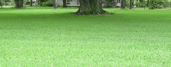Buy Zoysia Grass Seeds Online In India Amp Hyderabad