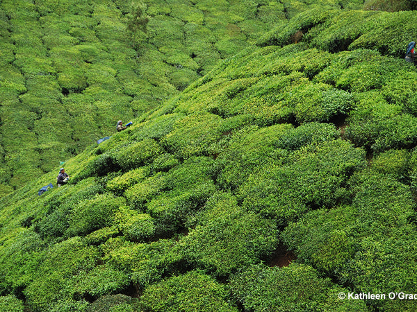 Tea Plantations and Finding Indigo
