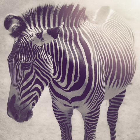 Zebra - Exotic Wildlife Black and White Photograph Print