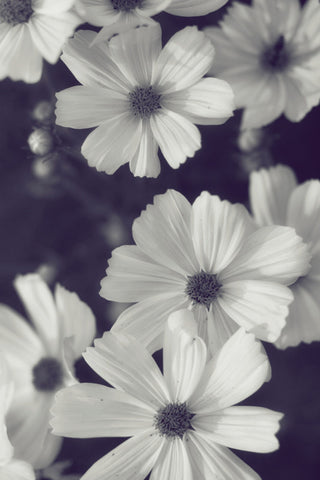 Friendly Flowers Black And White Cosmos Floral Photo Jessica
