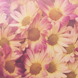 Sun Drenched Daisies - Pink Floral Photograph Print