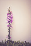 Foxglove Photo Print