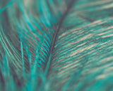 Turquoise Feather Close Up Photograph Print