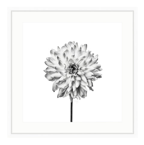 Framed Black and White Dahlia Giclée