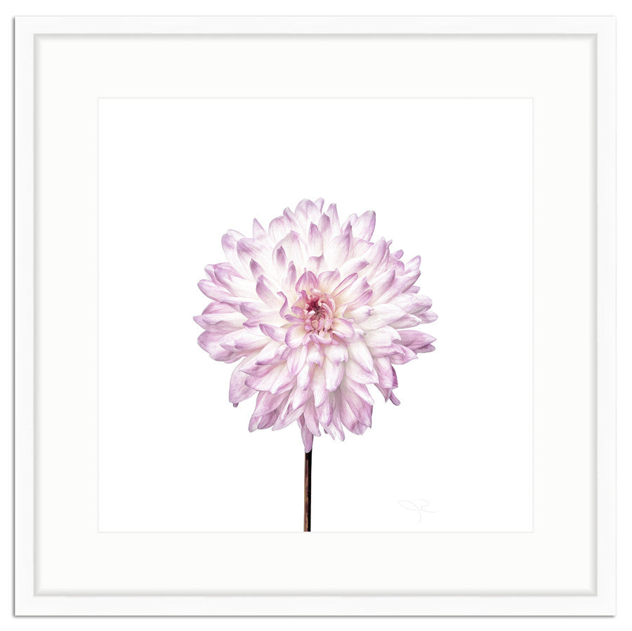 Framed Dahlia In Lavender Botanical Photograph The Pink