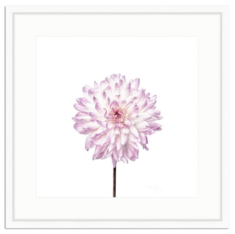 Framed Dahlia in Lavender Botanical Photograph Irvine Slim / 8x8 (14x14), Art Print - The Pink Pagoda, The Pink Pagoda  - 1