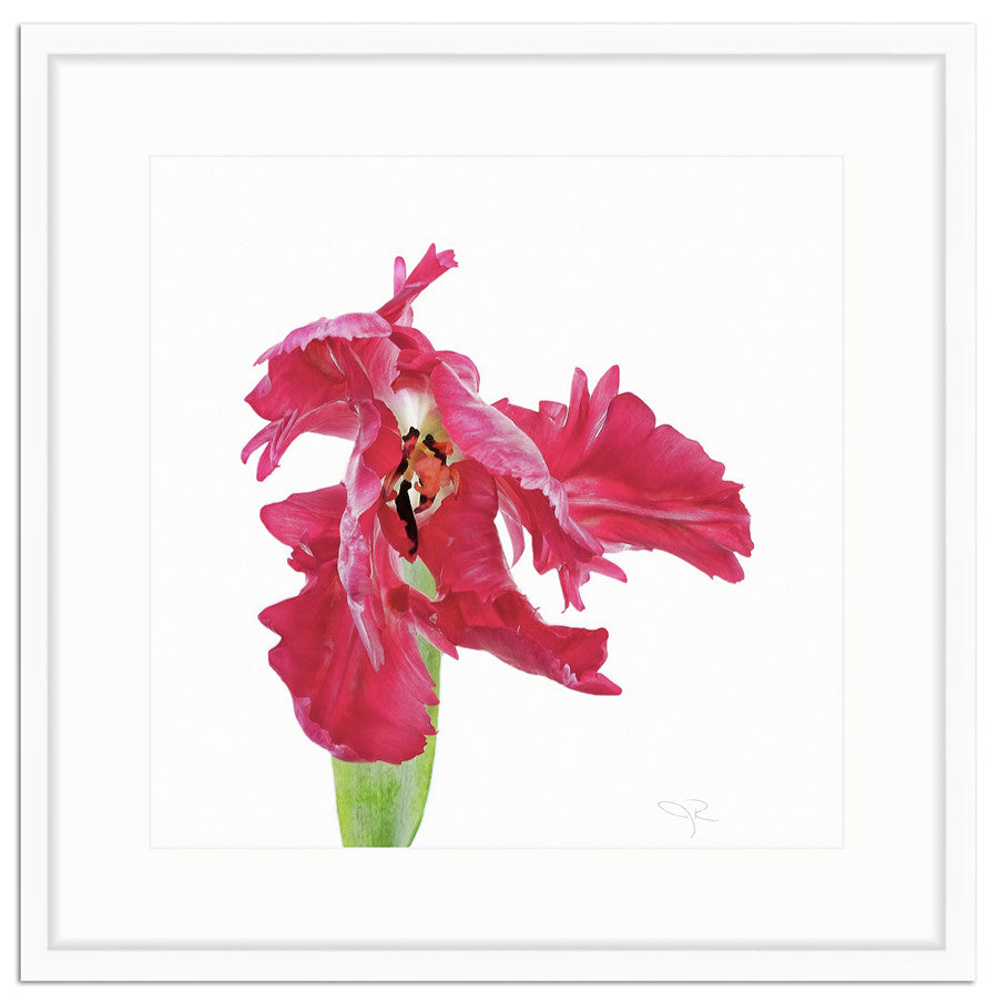 Framed Red Tulip Print The Pink Pagoda