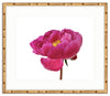 Framed Peony in Magenta Mandalay / 10x8 (16x14), Art Print - The Pink Pagoda, The Pink Pagoda  - 3