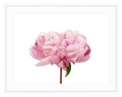 Framed Pink Peony Photography Print