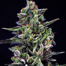 OG Blood FEM – 420Seeds