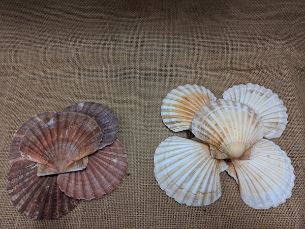 Genuine Scallop Shells