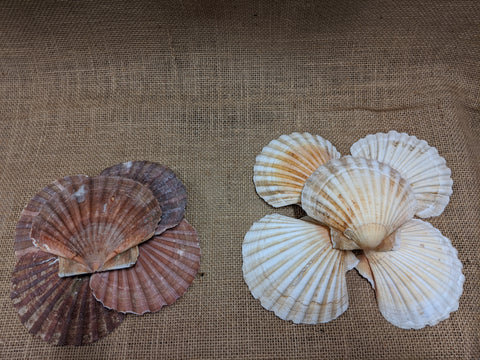 Genuine Scallop Shell
