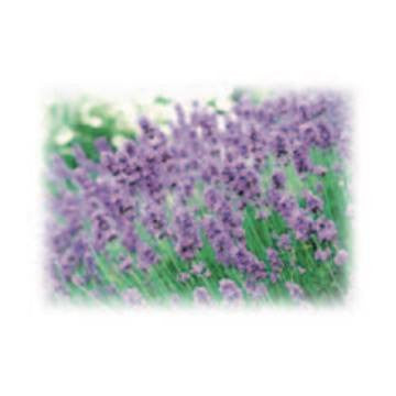 Lavender Breeze Alexandria Fragrance Oil 500 ml