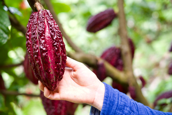Katie is inspecting a cacao pod as it nears the perfect ripeness