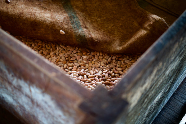 Cacao seeds are being fermented in a large wooden box