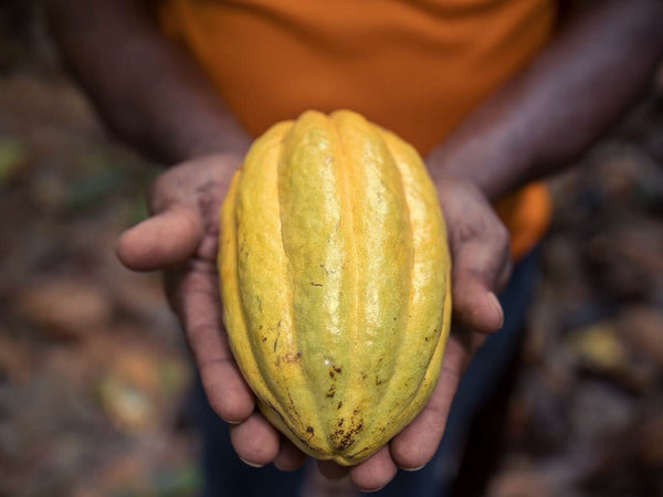 A farmer holding a ripe cacao pod in his hand