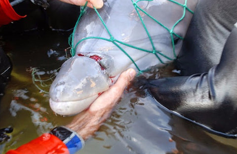 Dolphin Entanglement Rescue