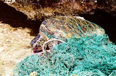 loggerhead sea turtle caught in net