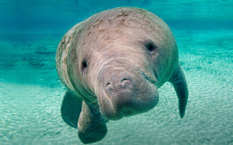 manatee awareness