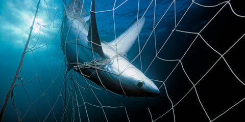 shark caught in net entangled