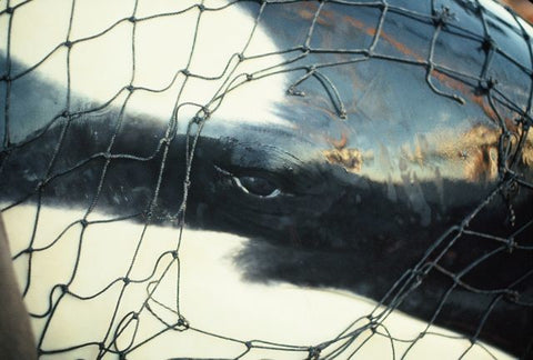 orca caught in fishing net