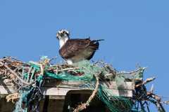 osprey nest pollution