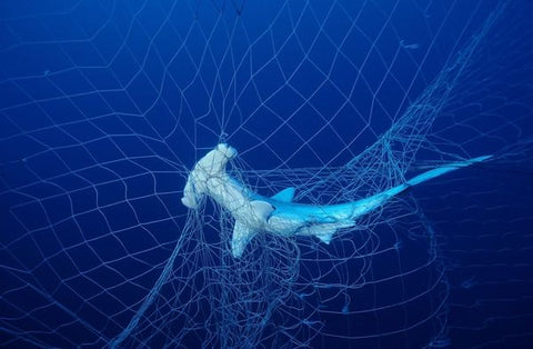 shark caught in net