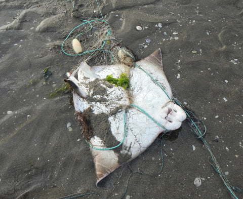 stingray tangled in net