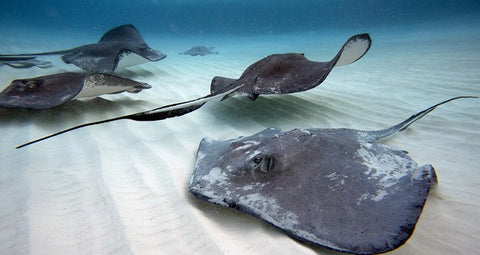 stingray conservation