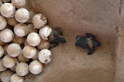 sea turtle eggs