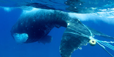 whale entangled in fishing net