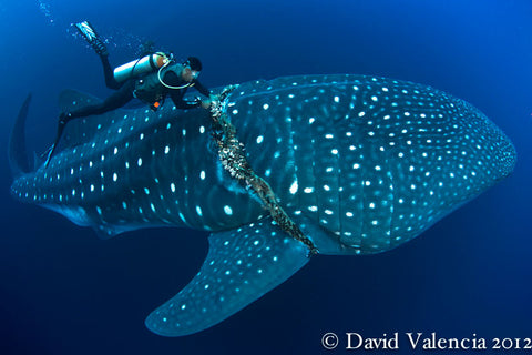 whale shark tangled in fishing net