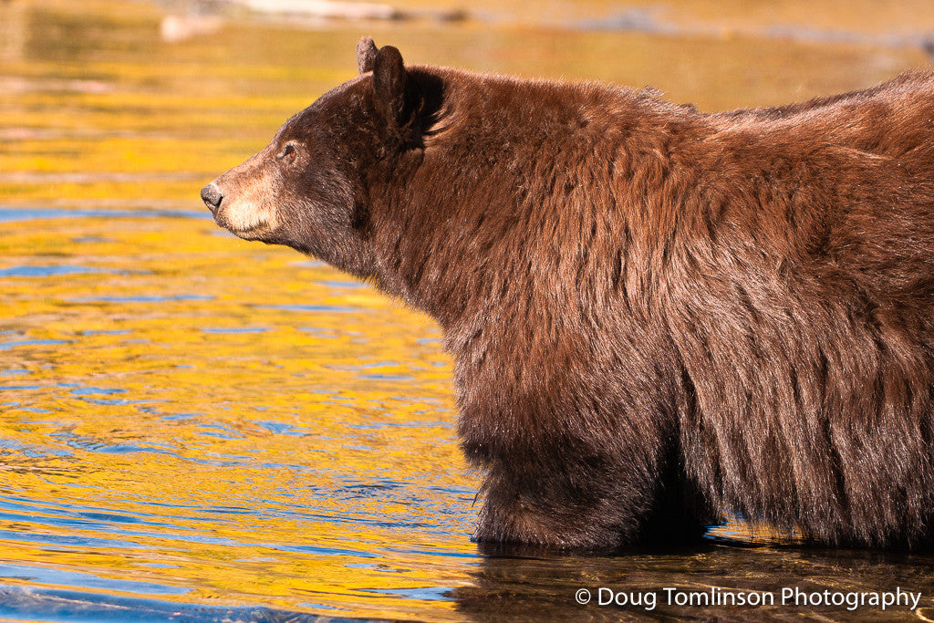 Bear with Fall Reflections - 1309