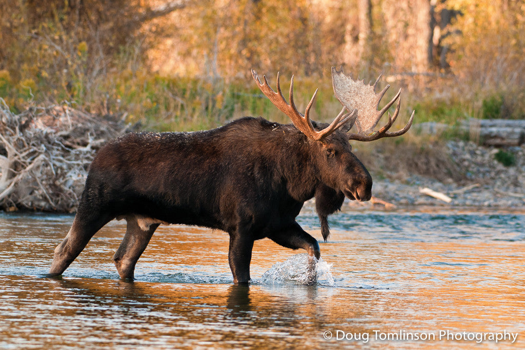 Big Bull Moose Crossing River - 1283
