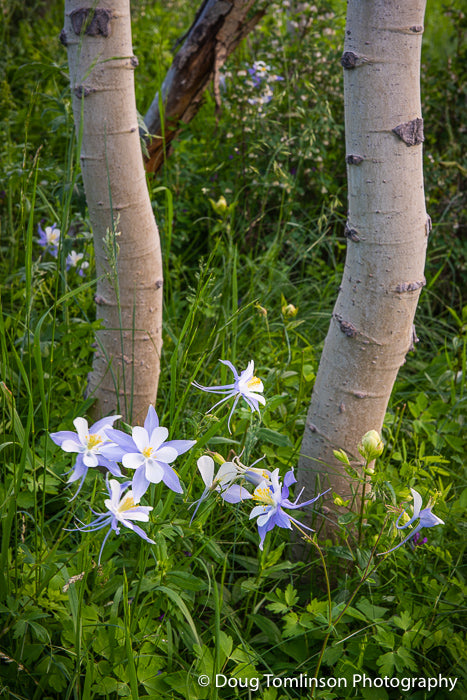 Columbine Amoungst the Aspens -1557