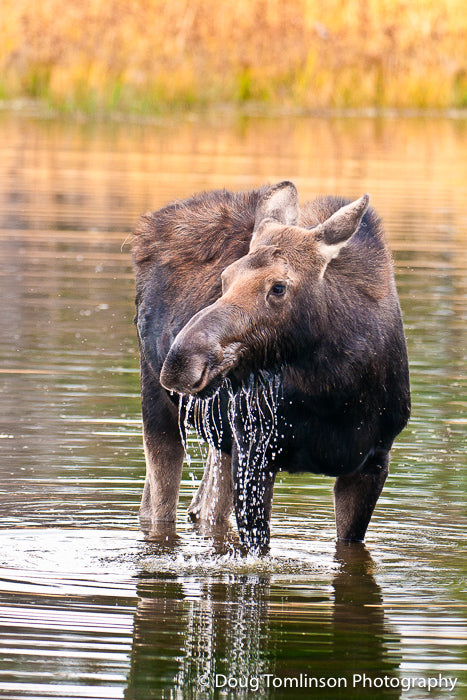 Cow Moose in Pond - 1290