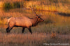 Elk in Grasses - 1180