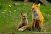 Fox Pup with Mom - 1031
