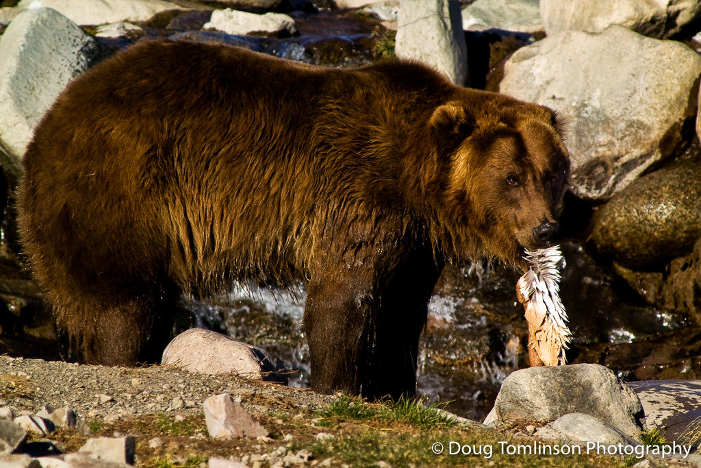 Grizzly Bear Snack - 1187