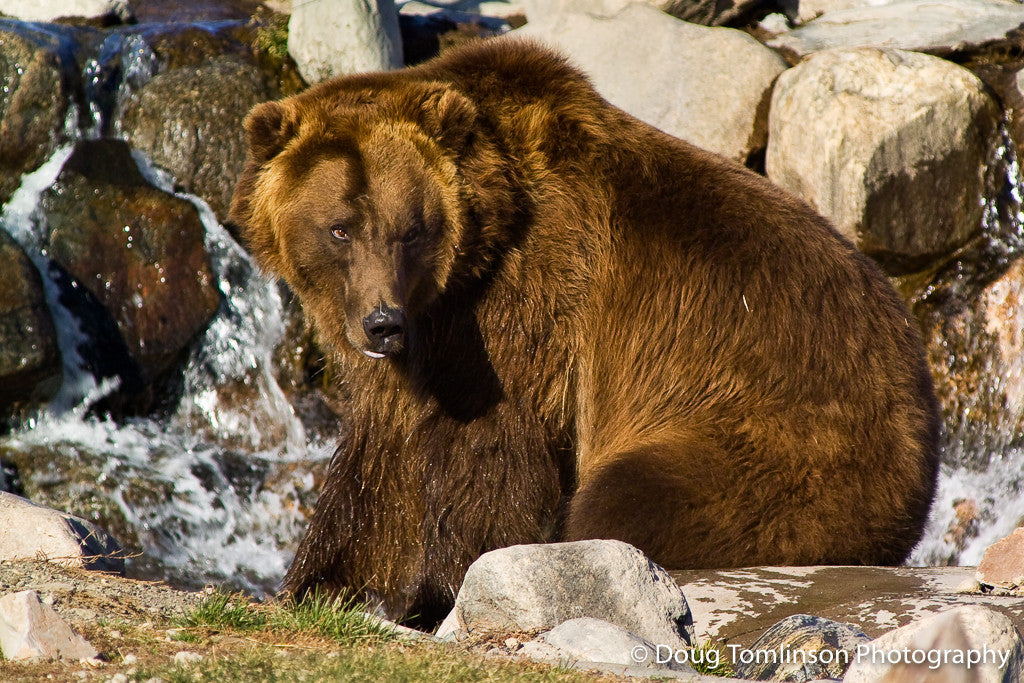 Grizzly Glare - 1188