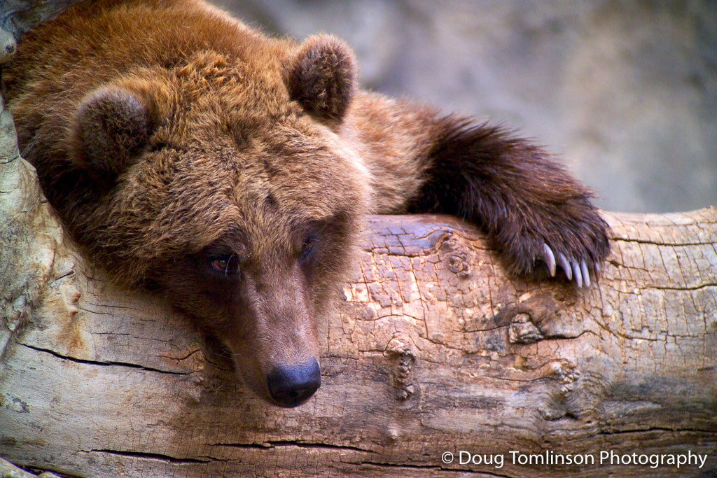Lazy Day for a Bear - 1009