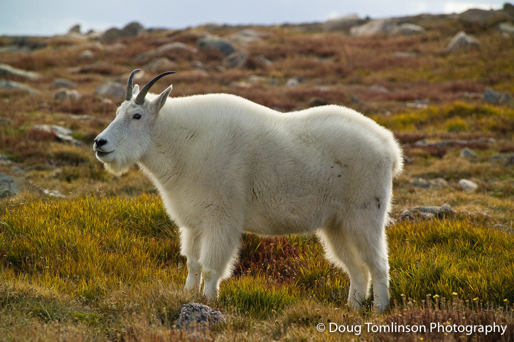 Lone Mountain Goat - 1272