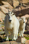 Mom and Baby Mountain Goat - 1246