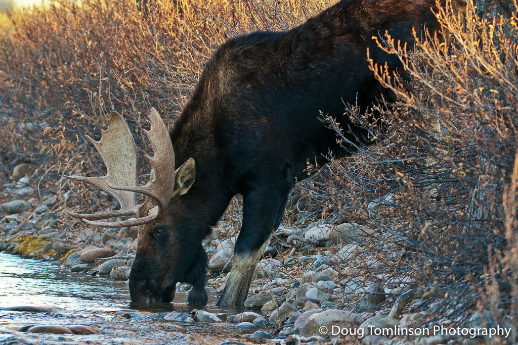 Moose Watering Hole - 1072