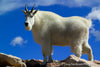 Mountain Goat on Summit - 1248