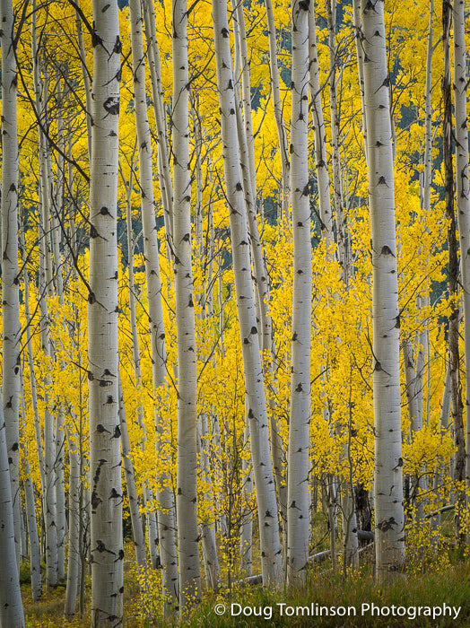 Peaceful Aspen Grove - 1358