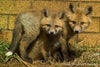 Playful Fox Siblings - 1033