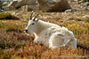Resting Mountain Goat - 1197