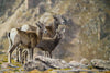 Rocky Mountain Bighorn Sheep Family - 1035