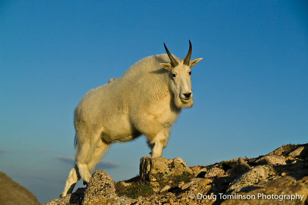 Summit - Mountain Goat - 1024
